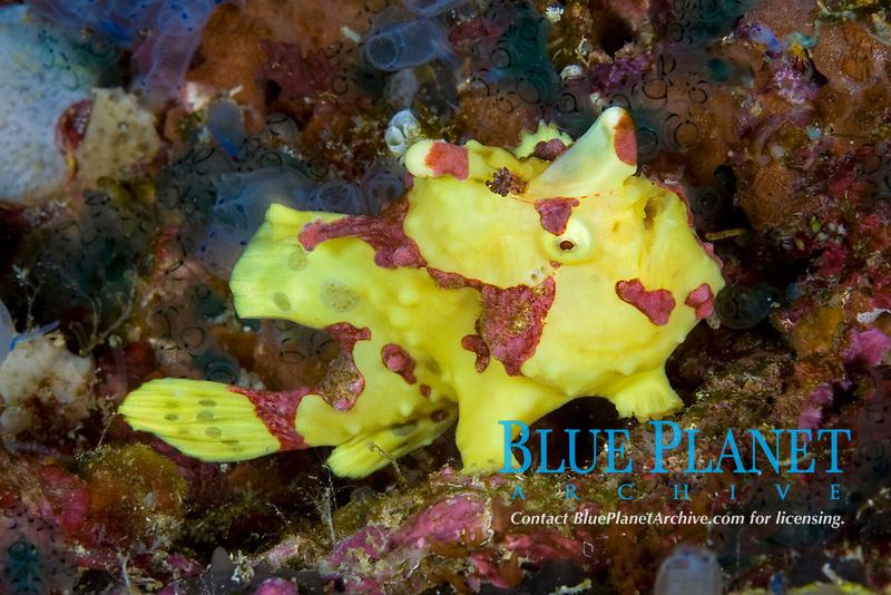 clown anglerfish, frogfish, Antennarius maculatus, Chapel Reef, Apo Island, Dumaguete, East Negros Island, Central Visayas, Philippines, Pacific Ocean