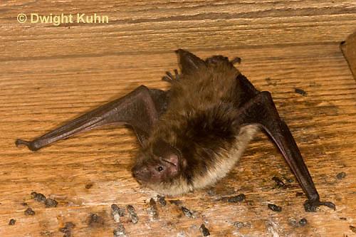 MA20-608z  Little Brown Bats, Myotis lucifugus