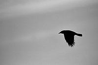 Crow, 35mm on Ilford Delta Film
