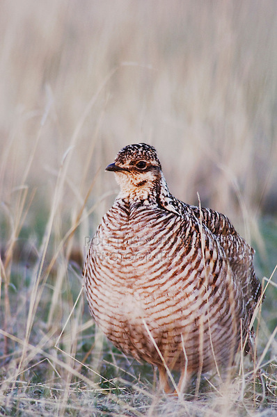 Lesser Prairie-Chicken, Tympanuchus pallidicinctus, female, Canadian, Panhandle, Texas, USA