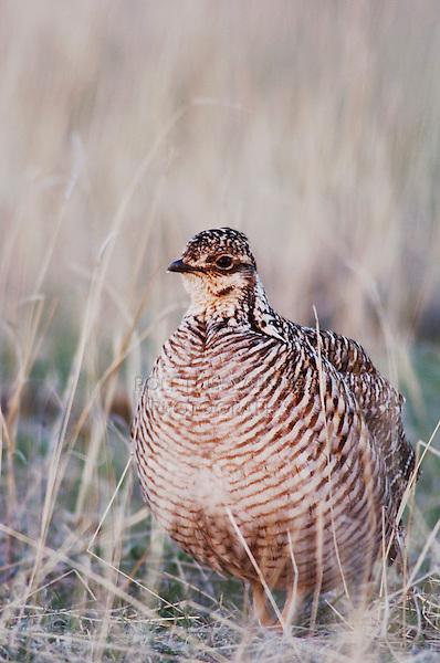 Lesser Prairie-Chicken, Tympanuchus pallidicinctus, female, Canadian, Panhandle, Texas, USA