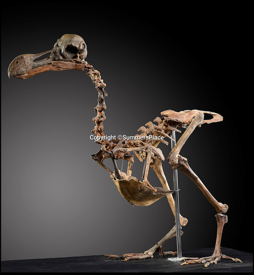 BNPS.co.uk (01202 558833)<br /> Pic: SummersPlace/BNPS<br /> <br /> Dodo returns -  first near complete skeleton to come up for auction could be yours for...£500,000.<br /> <br /> An incredibly rare skeleton of the dodo - an icon of extinction - that has been painstakingly assembled after one man spent 40 years collecting the bones is to be sold at auction for the first time.<br /> <br /> The 350-year-old bones make up one of the most complete skeletons in the world, at 95 per cent complete, and could fetch half a million pounds.<br /> <br /> The extinct bird will be sold by Summers Place Auctions in Billingshurst, West Sussex, who say it is a bit of an unknown entity because it is such a rare item, on November 22.