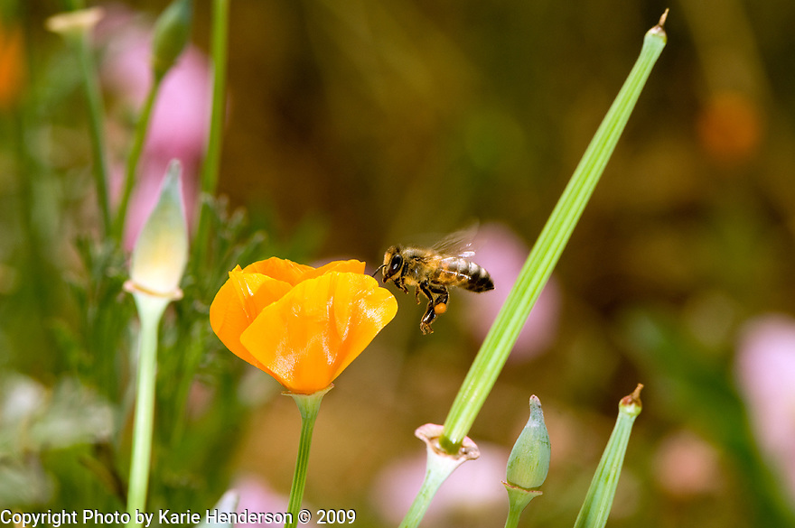 California, Ventura. Honey Bee collectin pollen from a California Poppy, in a garden.  Shot with flash, stationary on the ground.