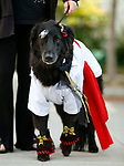 Gunner participates in the Scallywaggers Pirate Pup Parade at the Brewery Arts Center, in Carson City, Nev., on Wednesday, Sept. 18, 2019.<br /> Photo by Cathleen Allison/Nevada Momentum