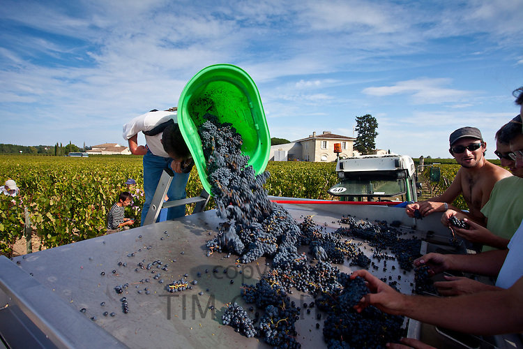 Wine harvest, vendange, Cabernet Franc grapes picked and sorted by hand at Chateau Lafleur, Pomerol, Bordeaux, France