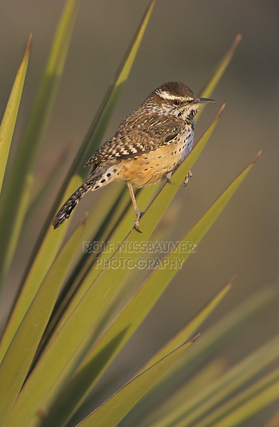 Cactus Wren, Campylorhynchus brunneicapillus, adult on Trecul Yucca (Yucca treculeana) , Starr County, Rio Grande Valley, Texas, USA