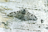 Peper-en-zoutvlinder (Biston betularia)