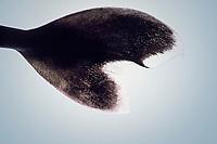 tail of pygmy shark, Euprotomicrus bispinatus, showing transparent margins, adult female, 24 cm, specimen, Kona, Big Island, Hawaii, USA, Pacific Ocean
