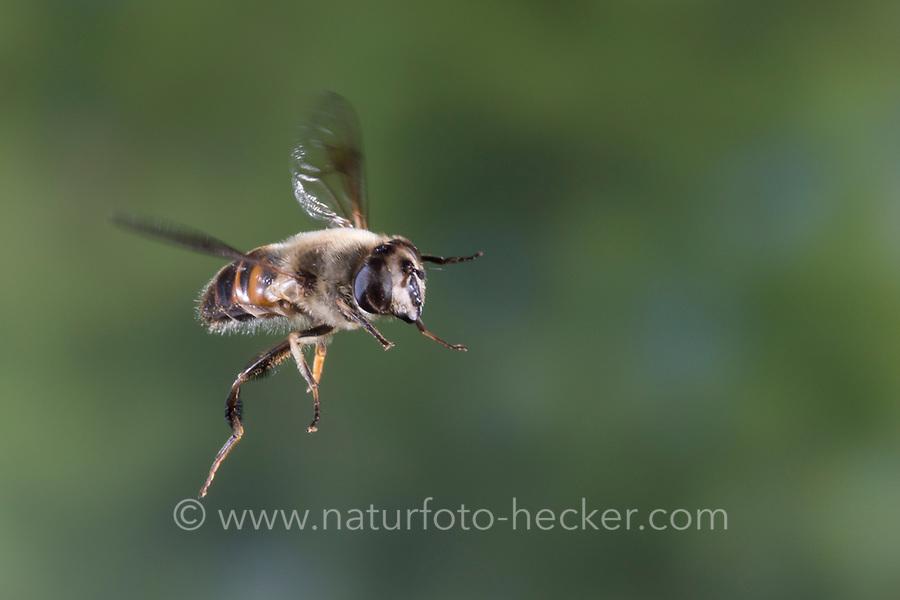 Große Bienenschwebfliege, Bienen-Schwebfliege, Mistbiene, Schlammfliege, Scheinbienen-Keilfleckschwebfliege, Weibchen, Flug, fliegend, Eristalis tenax, drone fly, dronefly, female, flight, flying, L'éristale gluant, L'éristale tenace