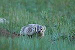 American badger, (Taxidea taxus), summer, meadow, July, evening, Rocky Mountain National Park, Colorado, USA, wildlife, mammal, carnivore