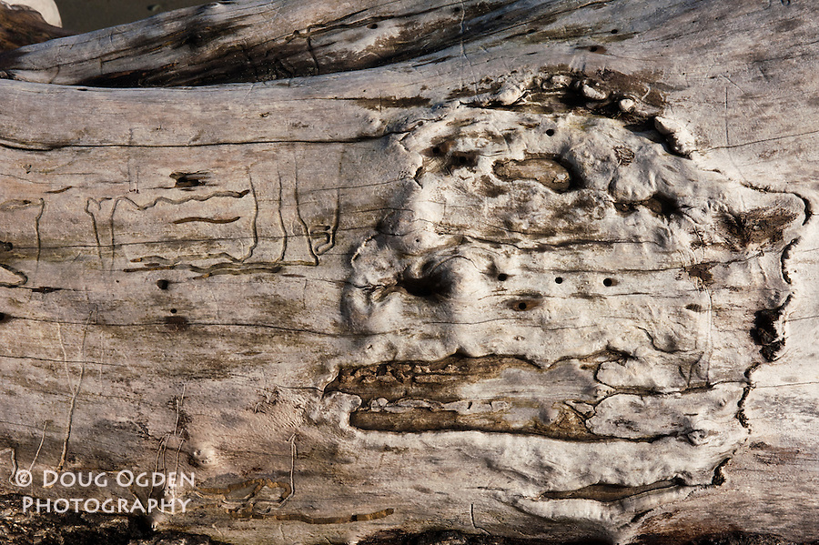 Gnarled Driftwood with Worm Tracks