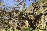 T-130 Mulberry tree in Ein Nekofa