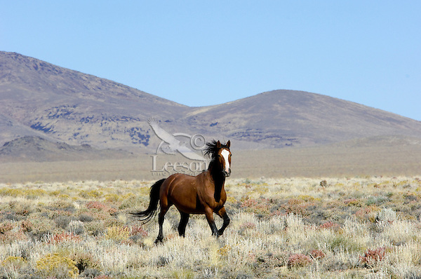 Wild Horse stallion in Nevada desert counrty.  Fall.