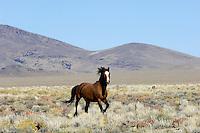 Wild Horse stallion in Nevada desert counrty.  Fall.
