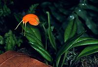 Masdevallia limax orchid species