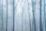 Moody mist descends on forest trees.