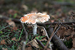 Star shaped orange amanita toadstool growing on forest floor, Rendlesham, Suffolk, England