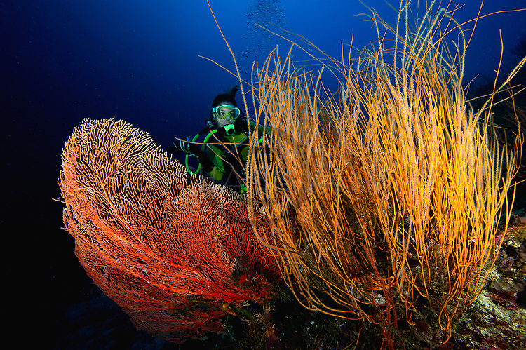 diver with Leptogorgia virgulata, colourful sea whip and tube sponges