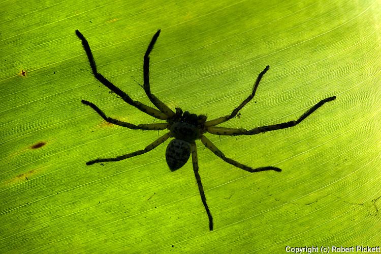 Large Huntsman Spider, Sparassidae, on leaf, Ifaty, Madagascar