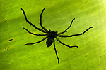 Large Huntsman Spider, Sparassidae, on leaf, Ifaty, Madagascar