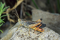Bunter Alpengrashüpfer, Bunter Alpen-Grashüpfer, Männchen, Stenobothrus rubicundulus, Wing-buzzing Grasshopper, Le Sténobothre alpin, male