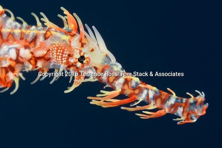 Harlequin ghost pipefish, Solenostomus paradoxus, Tulamben, Bali, Indonesia