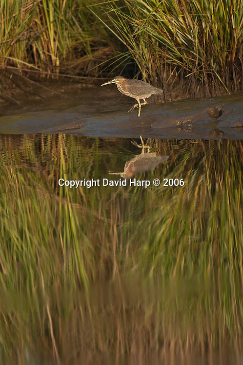 Immature green heron searches for dinner in a Chesapeake Bay tidal marsh.