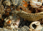 Dusky Jawfish blows out shells to create his den. Opistognathus whitehursti