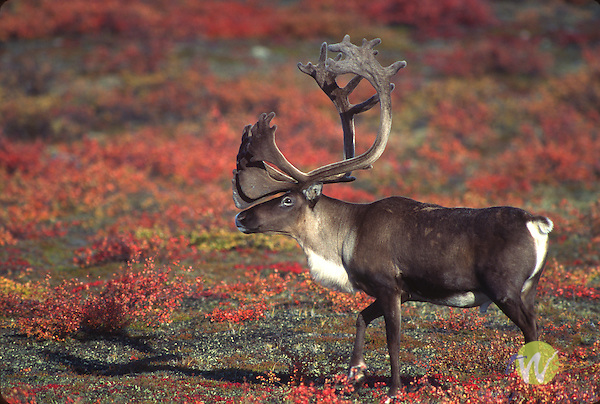 male Caribou with large rack of antlers.