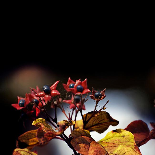 Autumn lensbaby berries