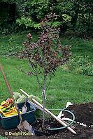 Planting a tree - flowering plum - Prunus spp (TT19-004e,047z,048z,050z,051z,053z,056z,059z)