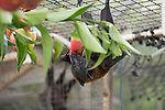 Feeding time at the Tolga Bat Hospital aviary where the fruitbats or flying foxes are fed different fruits from bananas, apples, watermelon to milk and water. Grey-headed flying fox (Pteropus poliocephalus)