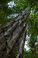 Douglas Fir (Pseudotsuga menziesii) Tree, Gifford Pinchot National Forest, Washington, US