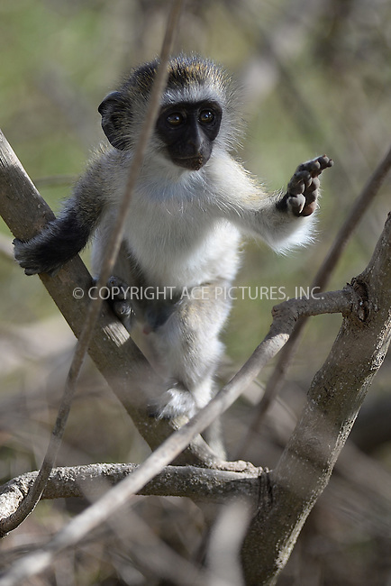 WWW.ACEPIXS.COM<br /> February 29, 2016 New York City<br /> <br /> Black Faced Vervit Monkey seen in Amboseli National Park on February 29, 2016 in Kenya.<br /> <br /> Credit: Kristin Callahan<br /> web: http://www.acepixs.com