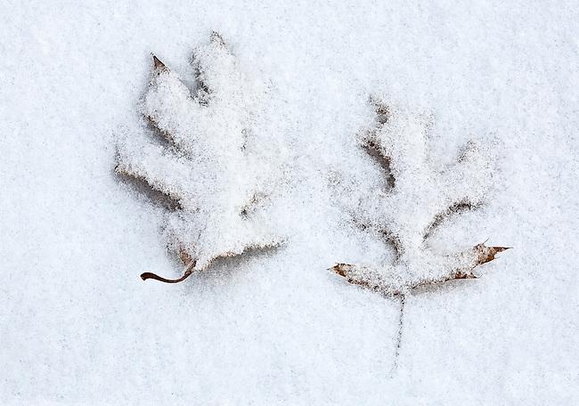 A pairof oak leaves under a crust of light snow.