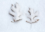 A pairof oak leaves under a crust of light snow.
