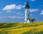 Lincoln County, OR<br /> Yaquina Head Light stands above the headlands covered with field mustard (Brassica campestris)