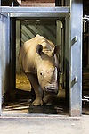 White rhino (Ceratotherium simum) at Colchester Zoo is trained to walk over a mat with 4,000 sensors to collect data for a special research project on rhino feet by Royal Veterinary College Professor John Hutchinson, May 2012, UK