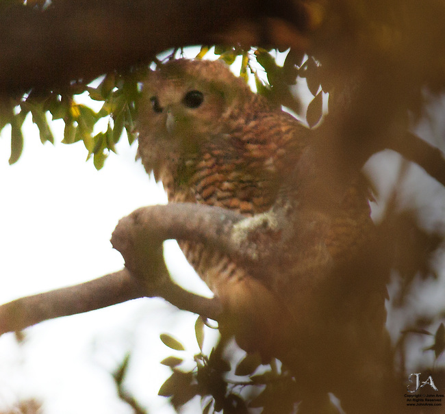 Very large owl, skittish and difficult to approach, numbers are declining.