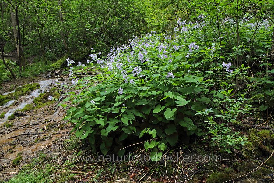 Ausdauerndes Silberblatt, Wildes Silberblatt, Mondviole, Silberling, Lunaria rediviva, Perennial honesty