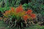 9818-AA Bromeliad clump in bloom, Aechmea blanchetiana, at Waimea Valley, Oahu, Hawaii