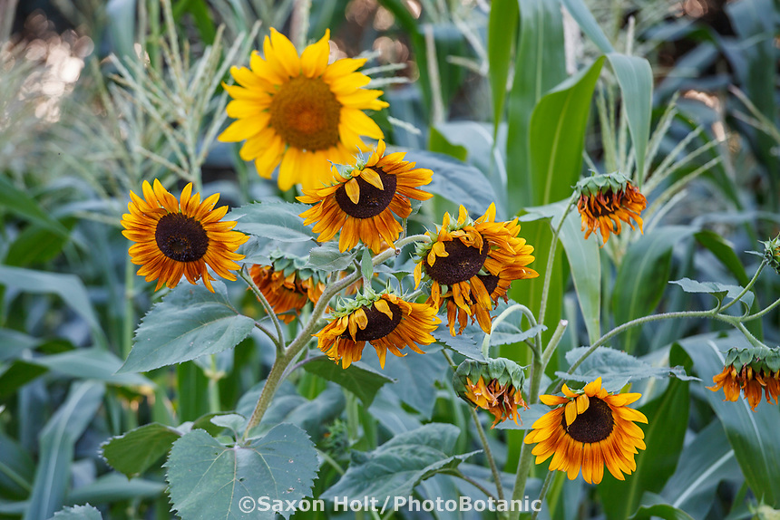 Sunflowers in Community Garden of Healdsburg Senior Living Center, California