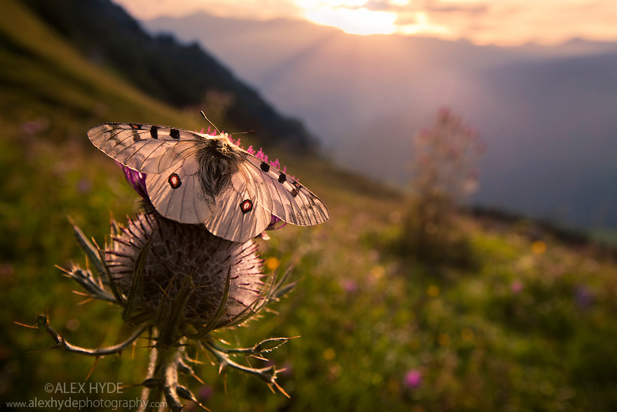 Small Apollo butterfly {Parnassius phoebus}  on thistle head in alpine meadow, wide angle view showing habitat. Nordtirol, Tirol, Austrian Alps, Austria, August.