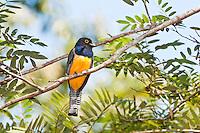 Violaceous Trogon, Belize