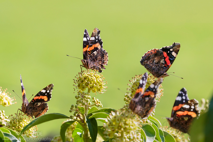 Red Admirals {Vanessa atalanta} feeding on Ivy {Hedera helix} Peak District National Park, Derbyshire, UK. October.