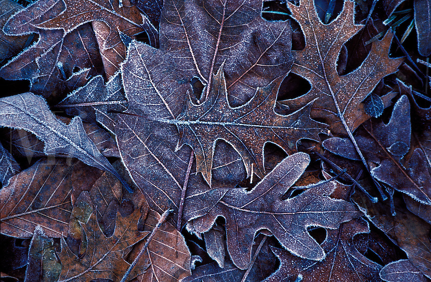 Frosted autumn leaves.