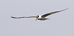 Caspian Tern.Sterna caspia.in flight at Viera Wetlands Viera Florida, February 27, 2008. Fitzroy Barrett