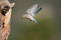 Mountain Bluebird (Sialia currucoides), female landing at nesting cavity, Rocky Mountain National Park, Colorado, USA