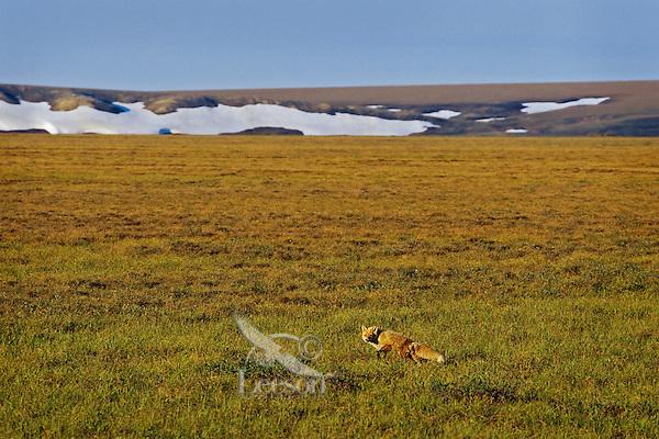 Red Fox (Vulpes vulpes) hunting in the Arctic National Wildlife Refuge, Alaska.  Summer.