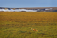 Red Fox (Vulpes vulpes) hunting in the Arctic National Wildlife Refuge, Alaska.  Summer.